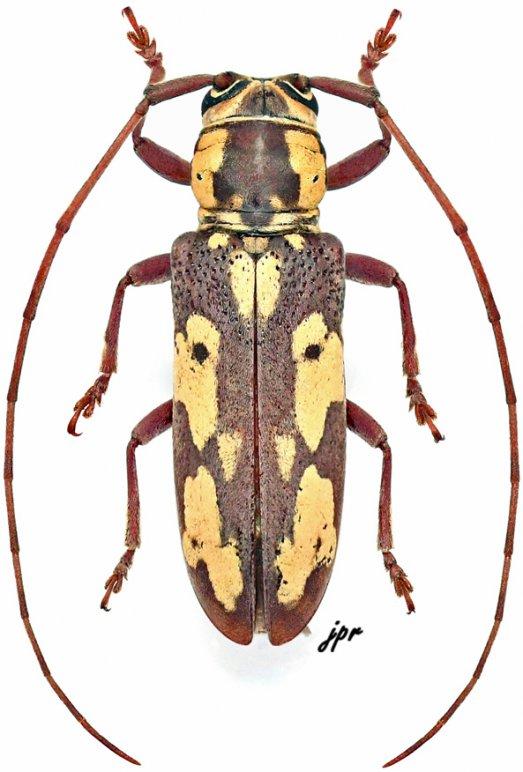 Prosopocera ochraceomaculata