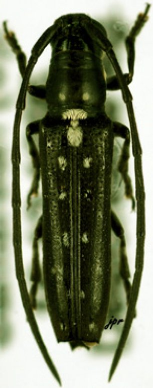 Proctocera quadriguttata