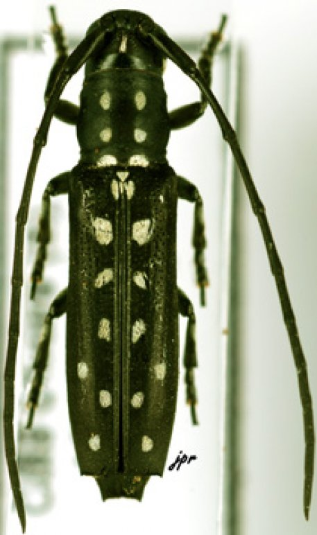 Proctocera scalaris