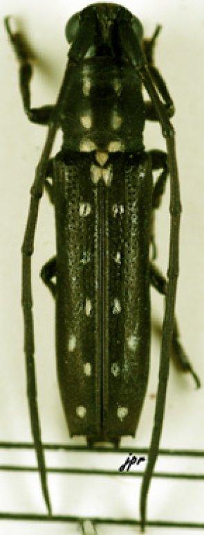 Proctocera scalaris