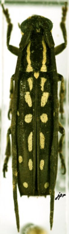 Proctocera senegalensis