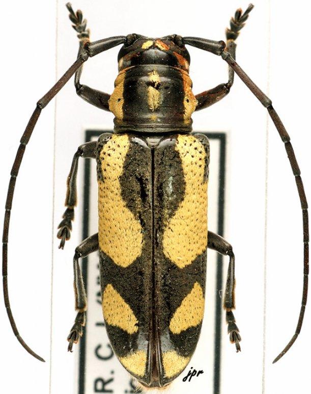 Prosopocera (Alphitopola)