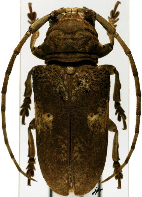 Prosopocera antennata quadripunctata