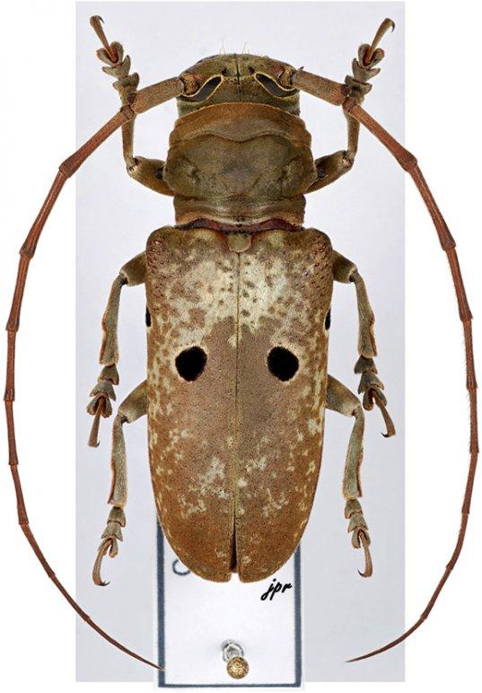 Prosopocera bipunctata bioculata