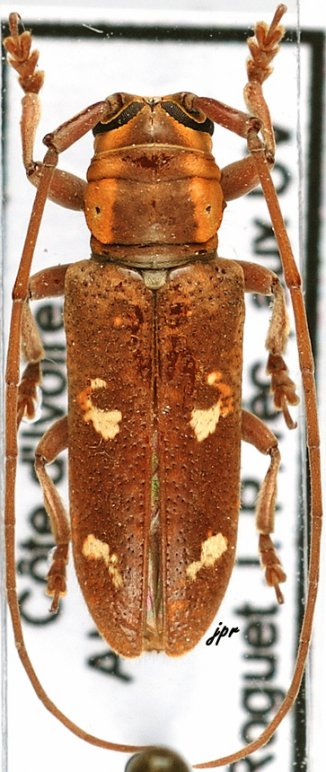 Prosopocera haemoroidalis