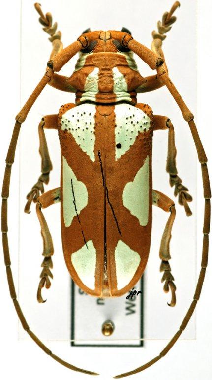 Prosopocera lactator meridionalis