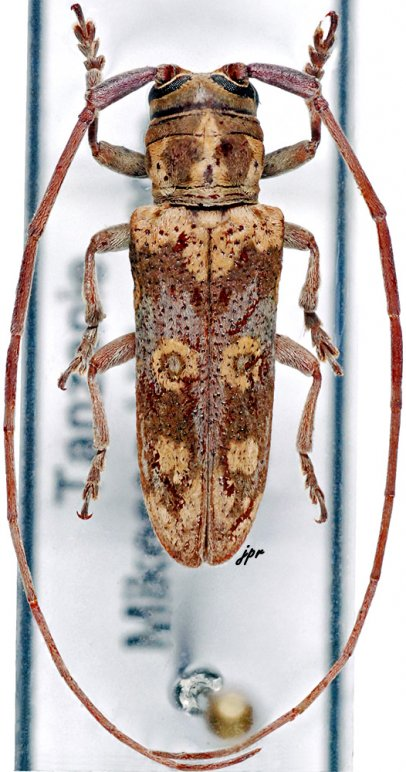 Prosopocera ochreobasalis