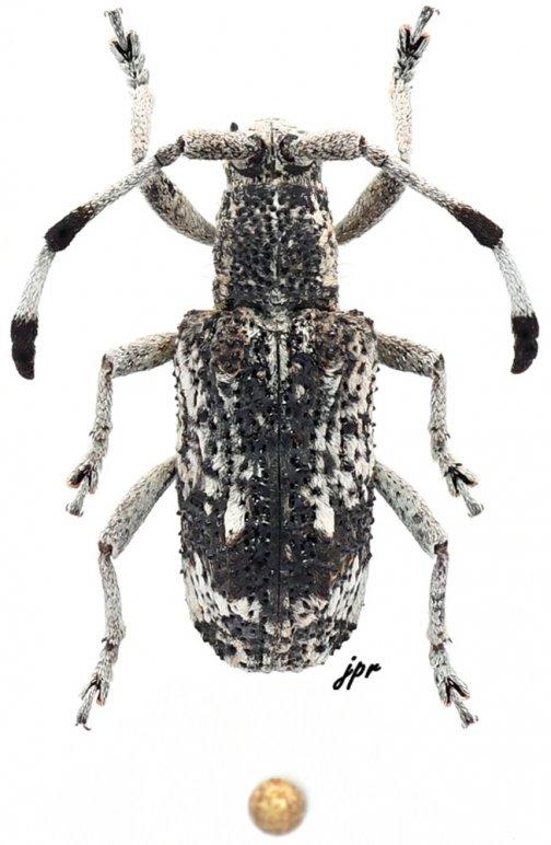 Apatelarthron borneanum