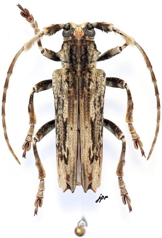 Baraeus tridentatus