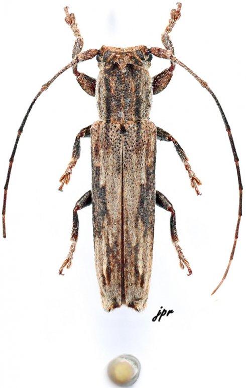 Batrachorhina miredoxa