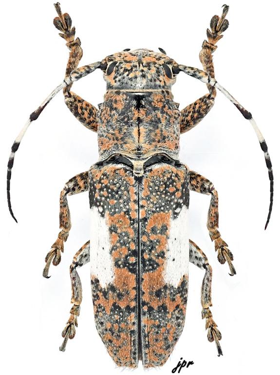 Callimetopus capito