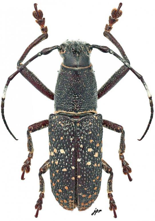 Callimetopus longicollis