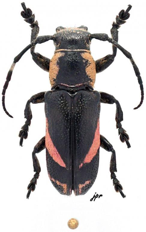 Callimetopus