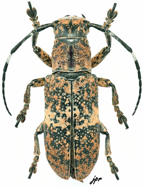 Callimetopus stanleyi