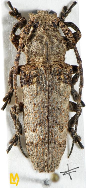 Niphona fuscatrix
