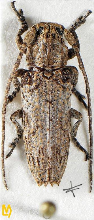 Niphona malaccensis