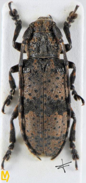 Paraniphona rotundipennis