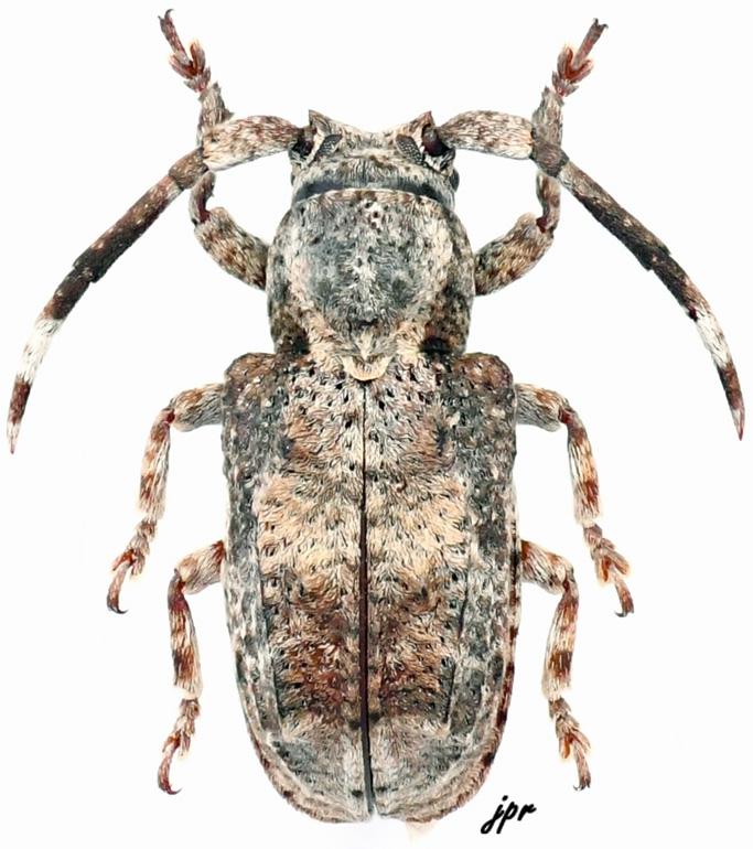 Pterolophia inaequalis