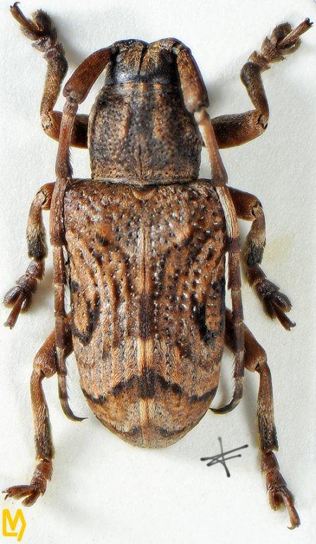 Pterolophia oculata