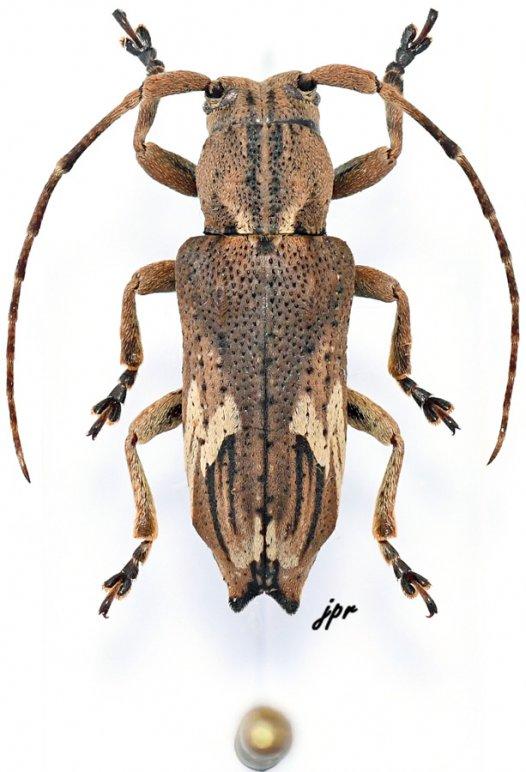 Pterolophia pseudocaudata