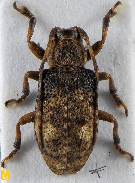 Pterolophia suisapana