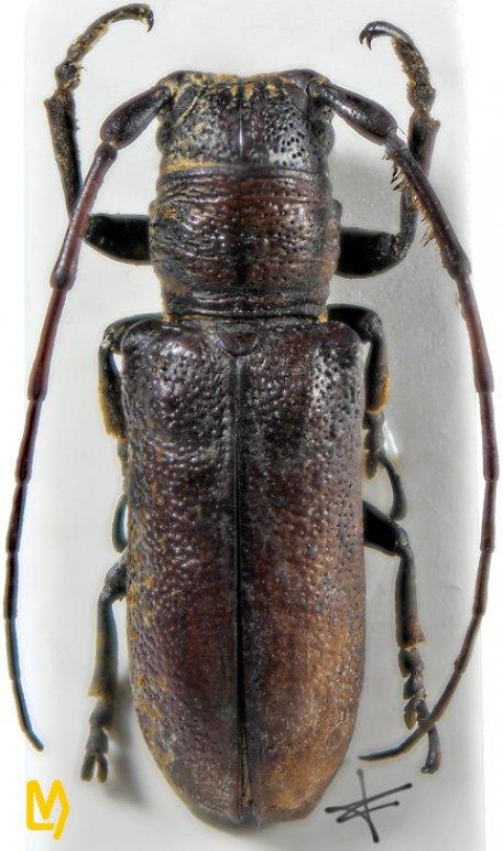 Rhytiphora blackburni