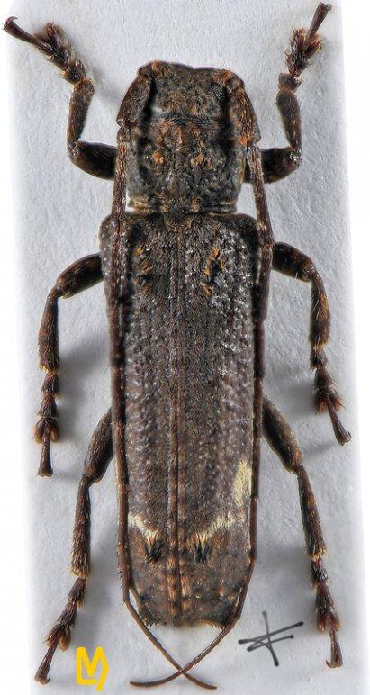 Sthenias yunnanus