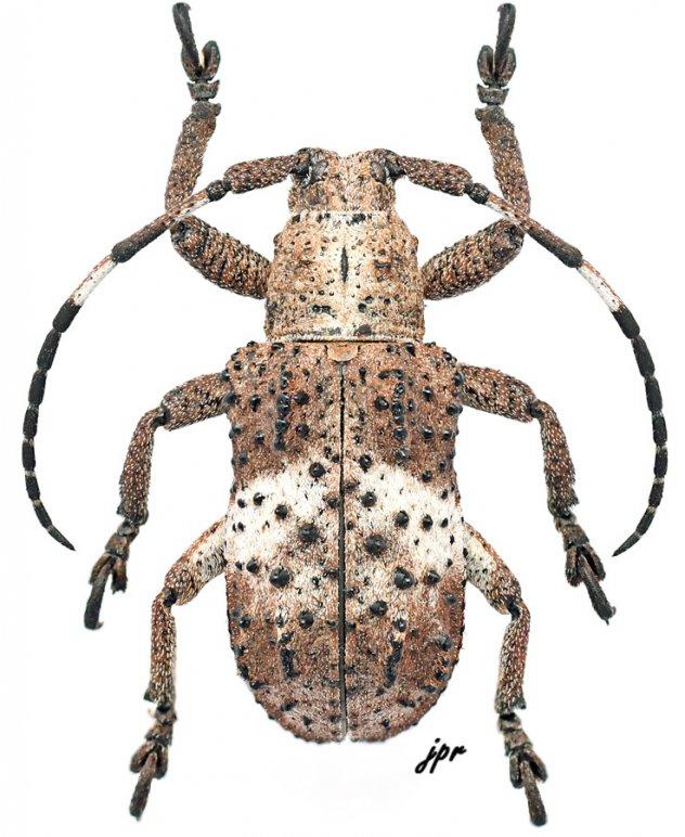Tuberculetaxalus mindanaonis
