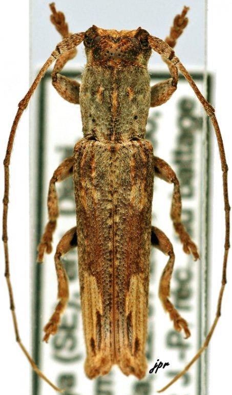Batrachorhina (Soridus)
