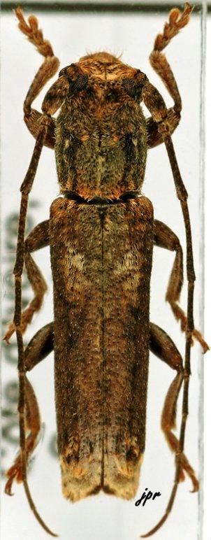 Batrachorhina biapicata