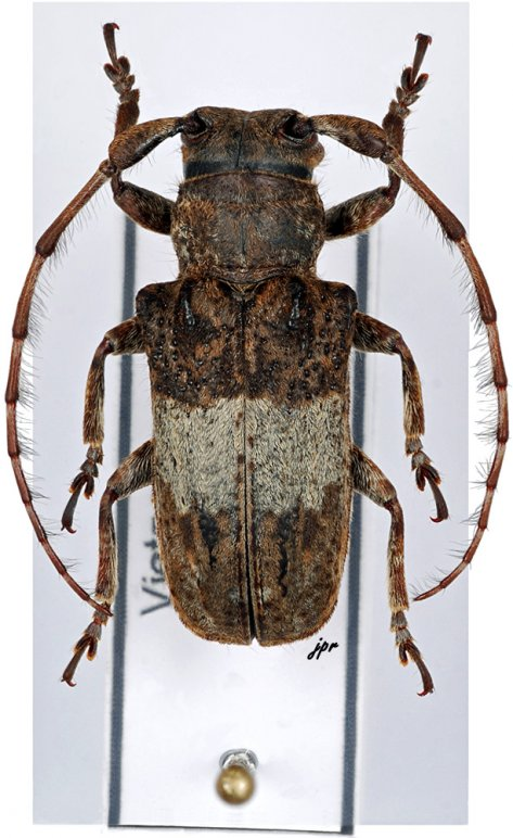 Gibbomesosella nodulosa