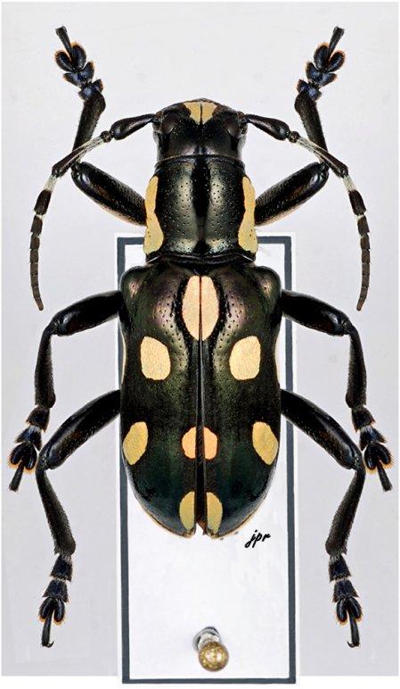 Mimacronia viridimaculata