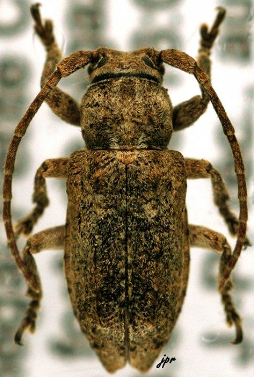 Pterolophia benjamini