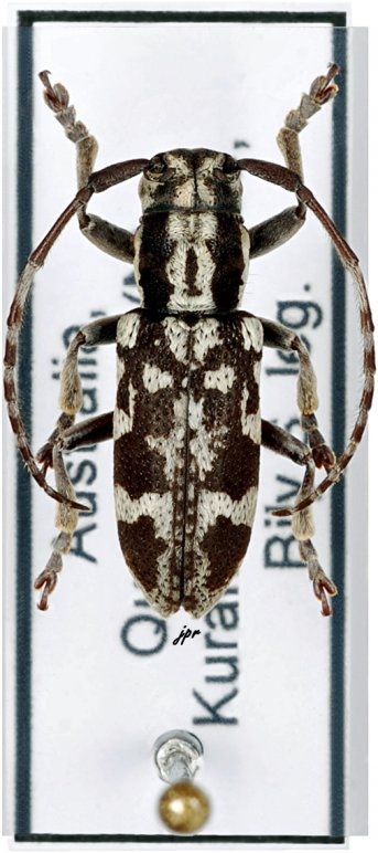 Pterolophia luctuosa