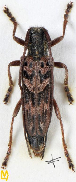 Dystomorphus piceae