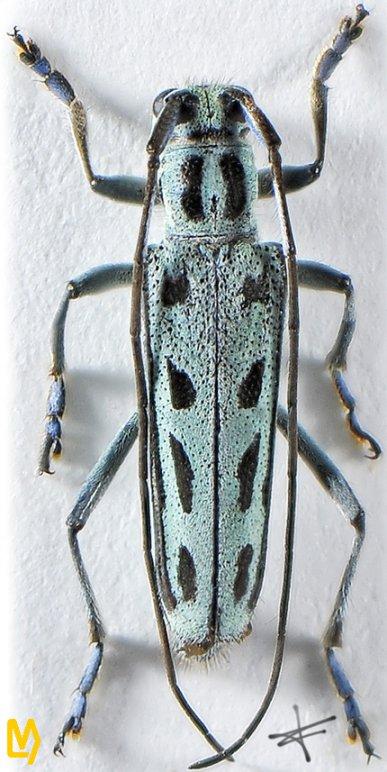 Eutetrapha shiqianensis