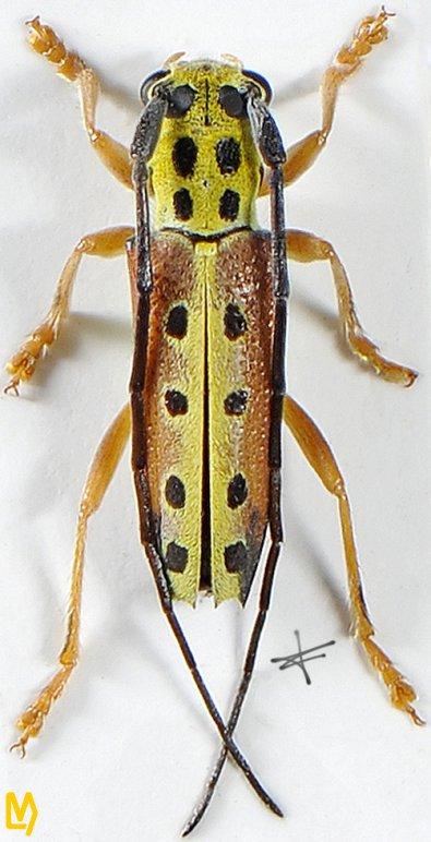 Glenea quatuordecimmaculata