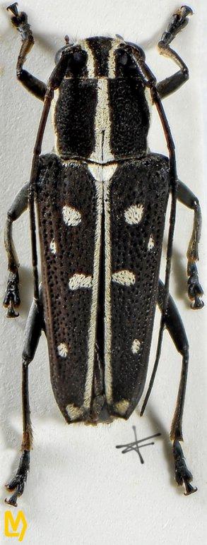 Glenea saperdoides vientianensis