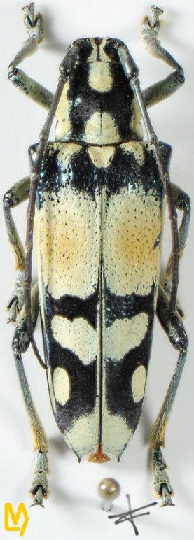 Glenea sarasinorum