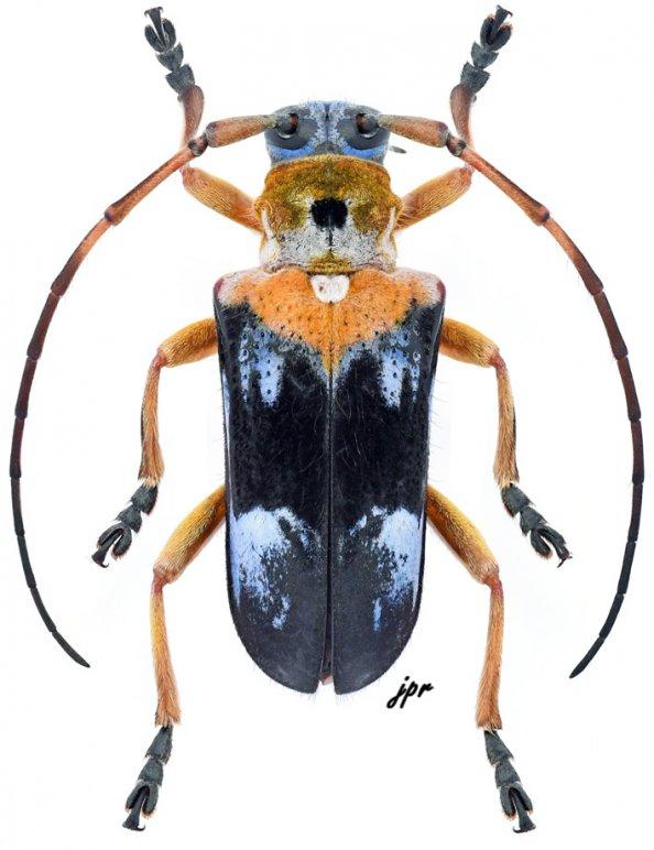 Glenida cyaneofasciata