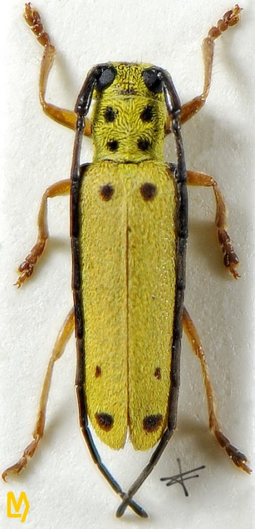Menesia vitiphaga