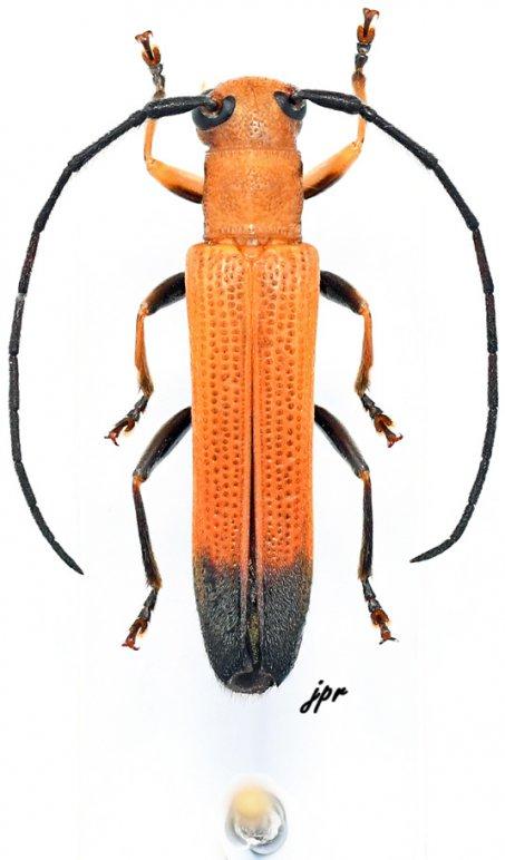 Obereopsis variipes variipes