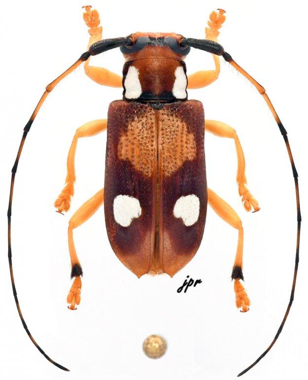 Parentelopes albomaculatus