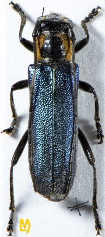 Saperda viridipennis