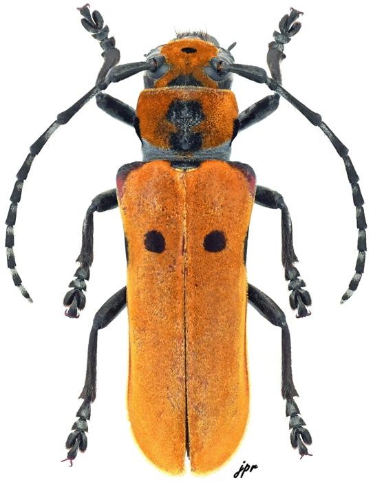 Mimocagosima ochreipennis