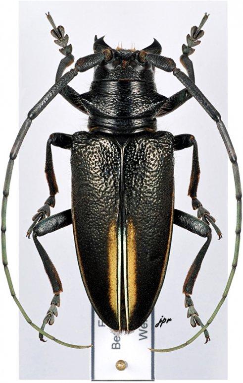 Demagogus larvatus