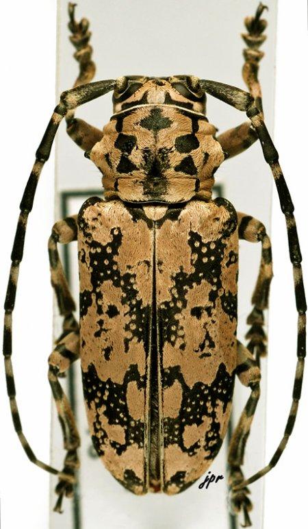 Freadelpha eremita eremita