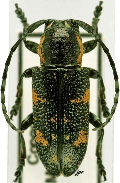 Anatragoides exigua