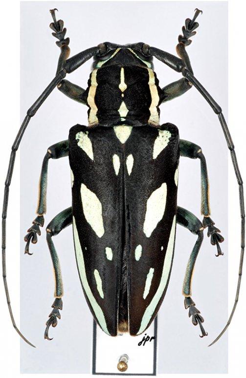 Freadelpha amoena