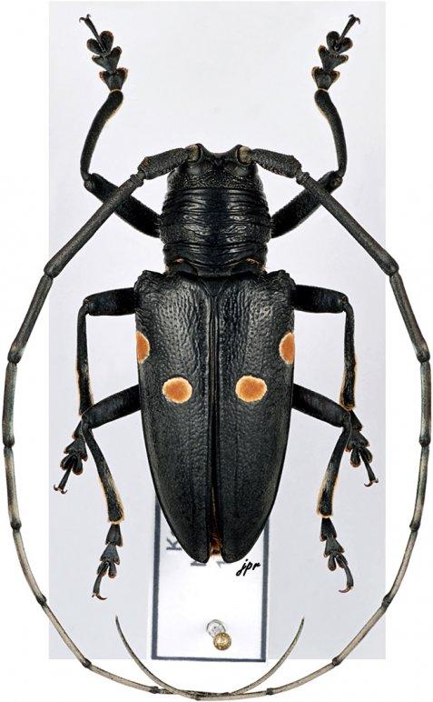 Paracylindrothorax balteatus